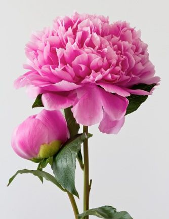 A peony bush will come back every year with many gorgeous blooms for weeks. It's pretty care-free after you plant it too! This variety is Monsieur Jules Elie - Peony.