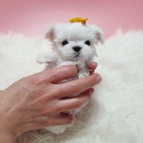 Micro Mini Maltese Baby Https Www Alohateacuppuppies Com Minimaltese Teacupmaltese Teacupma In 2020 Teacup Maltese Mini Maltese Teacup Puppies For Sale
