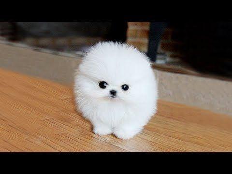 White Puppy Pomeranian Www Elitdog Com Belyj Shenok Pomeranskogo