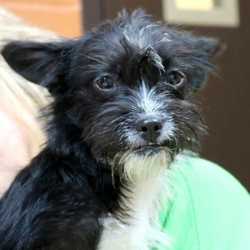 Hi I M Gremlin I M A Young Spayed Female Black With White
