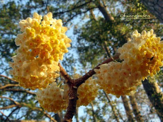 Edgeworthia chrysantha now blooming in Tennessee