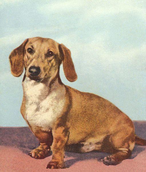 Print Of Dachshund Dog Dachshund Dog Dapple Dachshund