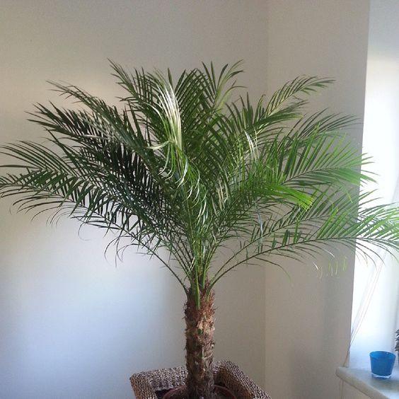 Tamareira Anã (Phoenix Roebelenii), palmeira de pequeno/médio porte muito usada no paisagismo de jardins do Brasil.