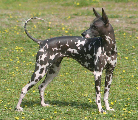 Peruvian Mexican Hairless Dog Hairless Dog Rare Dogs