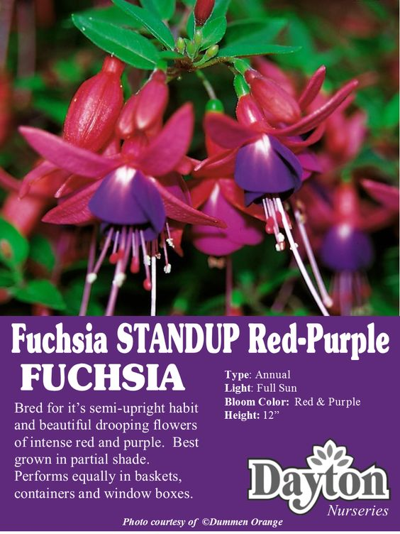 Fuchsia Standup Red Purple Bred For It S Semi Upright Habit And Beautiful Drooping Flowers Of Intense Red And Pu Shade Flowers Front Porch Decorating Fuchsia