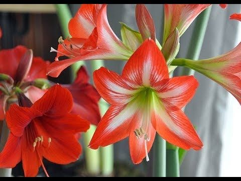 577 Care Of Amaryllis Lily During Winter Season Hindi Urdu 25 11 17 Youtube Amaryllis Flowers Amaryllis Parts Of A Flower