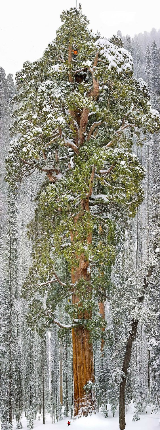 Le troisième plus grand séquoia du monde en Californie