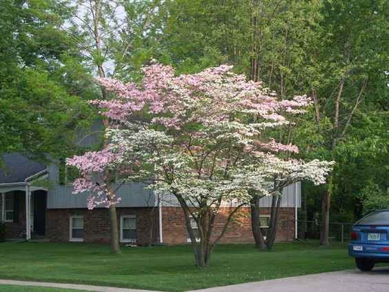Flowering Dogwood Cornus Florida Is A Small Flowering