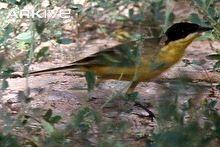 Yellow wagtail video - Motacilla flava - fe00   ARKive