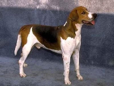 English Foxhound