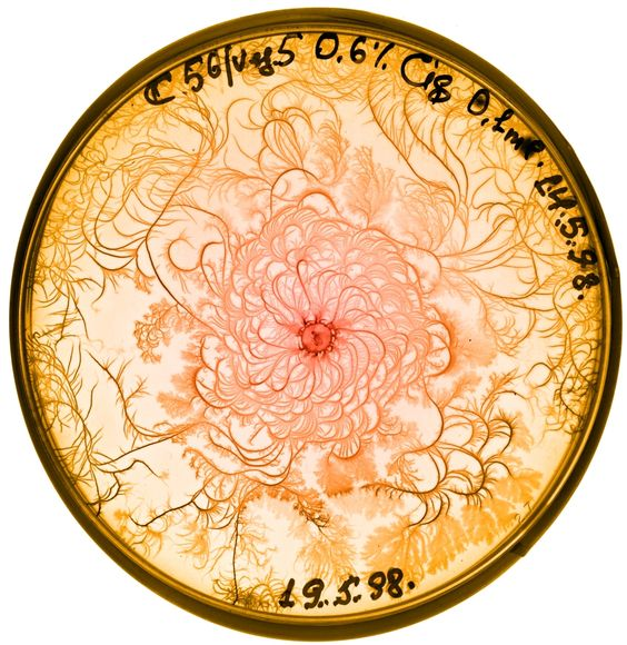 These images are part of a series of remarkable patterns that bacteria form when grown in a petri dish. The colony structures form as adaptive responses to laboratory-imposed stresses that mimic hostile environments faced in nature.