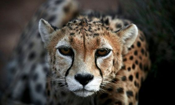 Only two female Asiatic cheetahs remain in wild in Iran by Supertrooper http://focusingonwildlife.com/news/only-two-female-asiatic-cheetahs-remain-in-wild-in-iran/