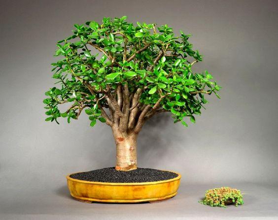 Pozsgafa Vagy Majomfa  Crassula Ovata     Jade Plant
