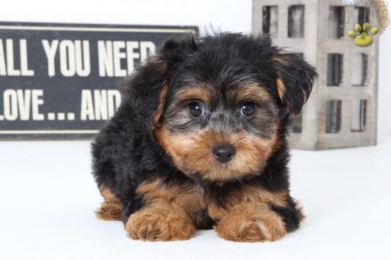 Yorkshireterrier Poodle Yorkiepoo Puppiesofpinterest Pinterestpuppies Buckeyepuppies Puppies Pups Pup Puppy Funl Yorkie Poo Puppies Puppies For Sale