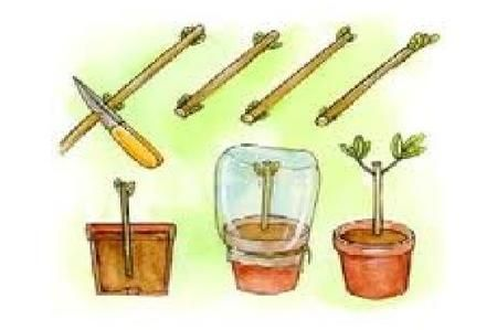 Come moltiplicare le piante da talee di fusto