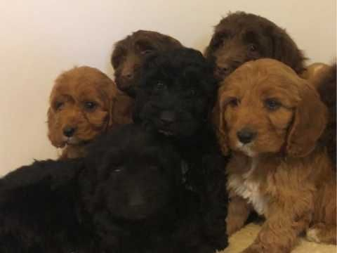 Cockapoo Puppies F1 2 Black Girls Available Cockapoo Puppies