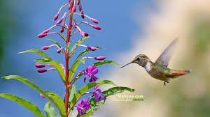 Resultado de imagen para colibries