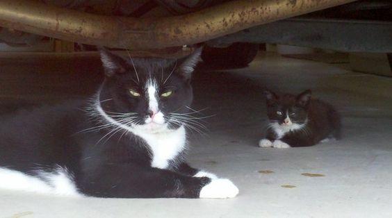 父子? 貓咪蝙蝠俠帶回蝙蝠俠小貓  BATMAN kitty daddy and son XD: Kitty Cat, Tuxedo Cats, Mini Me, Cat S
