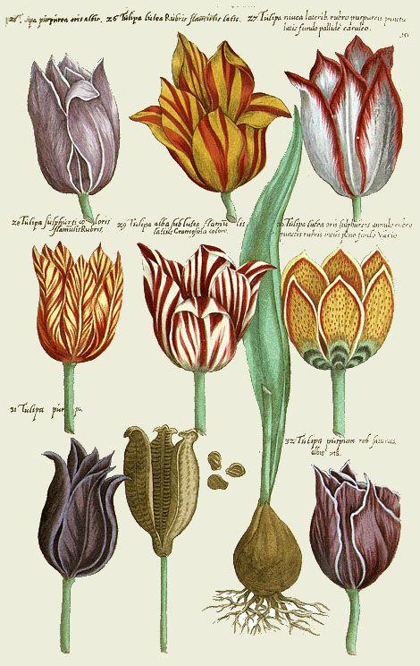 Tulips by Emanuel Sweert. Florilegium amplissimum et selectissimum, 1612.:
