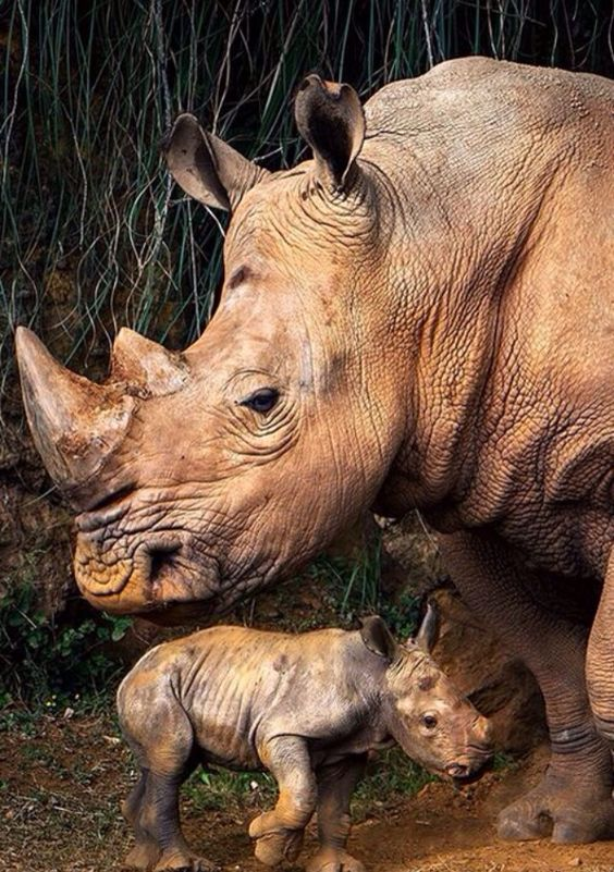 Rhino with baby, absolutely beautiful. Rhinos are on the endangered species list.