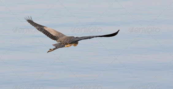 Great Blue Heron ...  Gret Blue Heron, Heron, animal, beautiful, bird, blue, exoctic, fly, flying, lake, nature, river, wildlife
