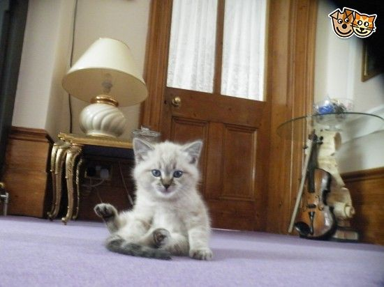 Beautiful Birman kittens for sale! | Margate, Kent | Pets4Homes