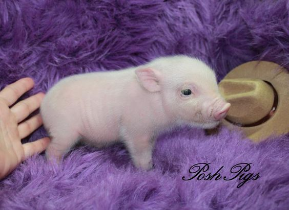 Pets, Teacup pigs and Piglets on Pinterest