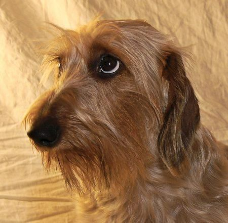 Cure wire haired dachshund image