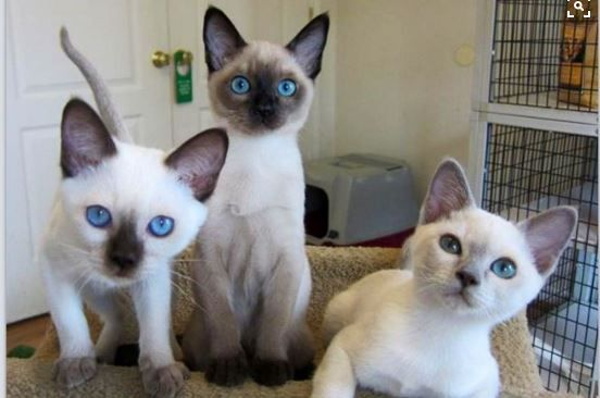 20 Cat Breeds Who Make The Cutest Kittens Kittens Cutest Cutest Kitten Breeds Kitten Breeds