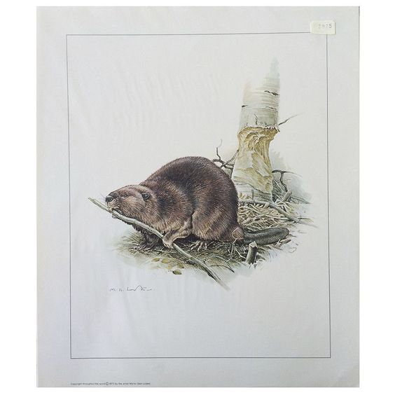 Print - Beaver by Martin Glen Loates