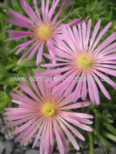 Delosperma- Mittagsblume