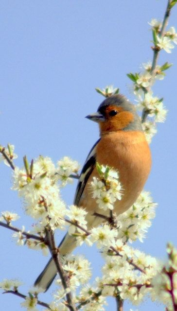 male chaffinch, Bird Photography, nature photography, countryside ...