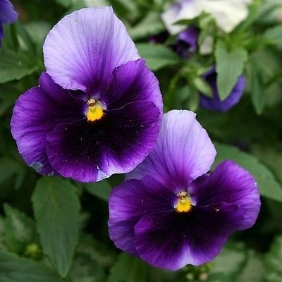 Pansy (Viola x Wittrockiana Swiss Giant Beaconsfield) - Beaconsfield Pansy is a gorgeous combination of purple and white, and it easily grows from Pansy seeds. This Swiss giant Pansy reaches 3 inches