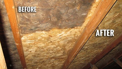 Surviving Mold In Your Attic Get Rid Of Mold Attic Green Tea Oil