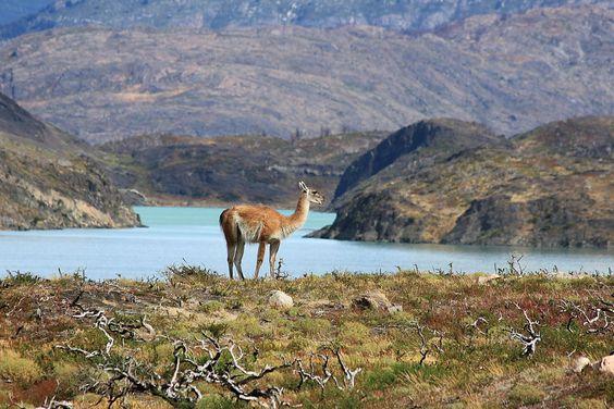 Guanaco at national park Torres del Paine