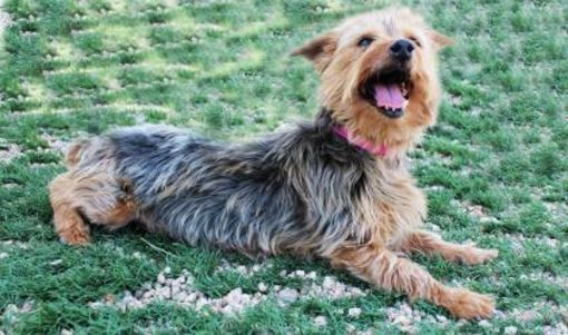 Colorado Springs Co Yorkie Yorkshire Terrier Meet Lotti A Dog