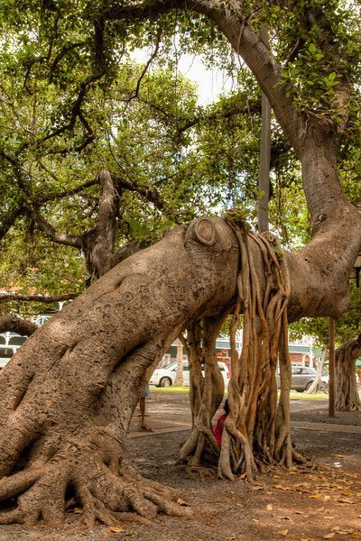 Hawaii  -- the   popular   Banyan   tree    in   Downtown      Lahaina