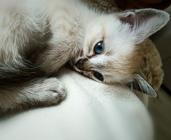Luna The Ragamese Kitten Ragdoll X Siamese Cute Cats Photos Ragdoll Cat Kittens