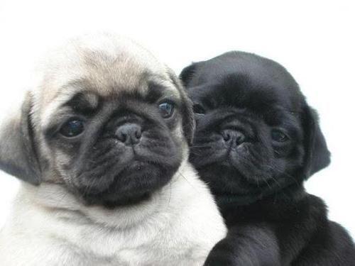 Cute Couple Puglife Pugs Dog Puglove Pug Puglia Baby