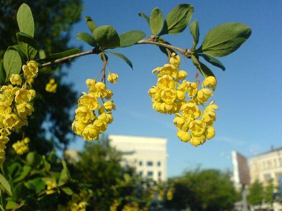 Цветение барбариса