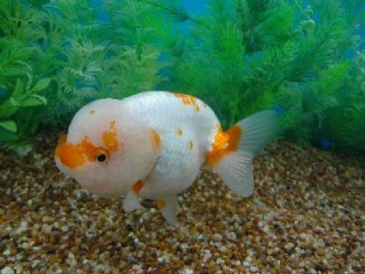 orange speckled ranchu goldfish