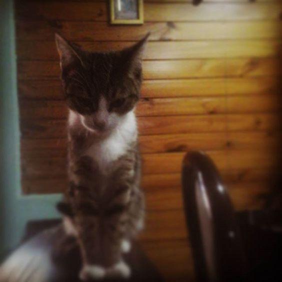 Enano #cat #cats #cutecat #sexycat #catsofinstagram #catsagram