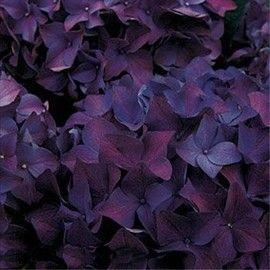 La variété 'Hobergine' se caractérise par la richesse de sa pigmentation. Il a une palette de couleur passant du rose antique au violet très foncé selon l'acidité du sol.