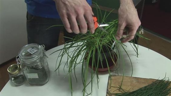 How To Harvest Chives