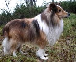 Image result for sheltie puppies for sale