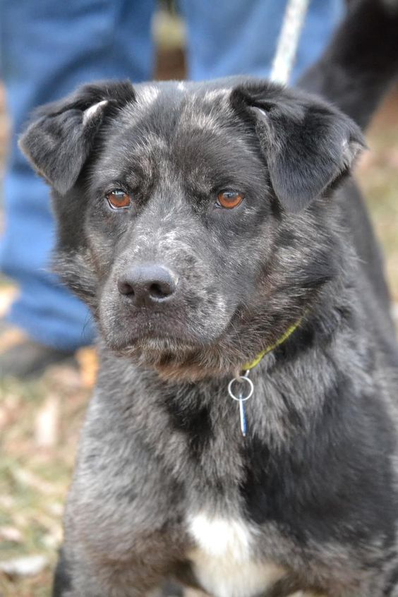 Barclay Went To Rescue Adopted Dog Australian Shepherd Mix Adult Male Medium