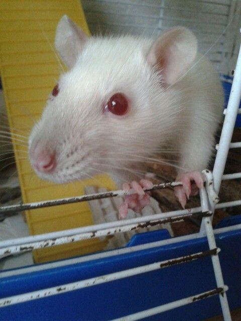 Aaaww, sweet ratty  :-) <3 Ones of mij friends Dragon. They others name is Tigris.<3