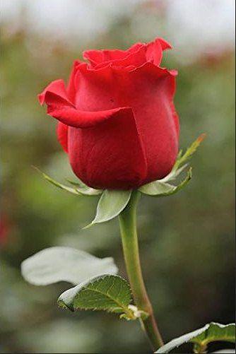Gambar Bunga Ros : gambar, bunga, Gambar, Bunga, Mawar, Merah, Mawar,, Bunga,, Wallpaper, Gadis