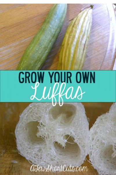 One of lifes many wonders! Did you know you can Grow Your Own Luffas?! We did! Check out how it works and where to find the seeds!