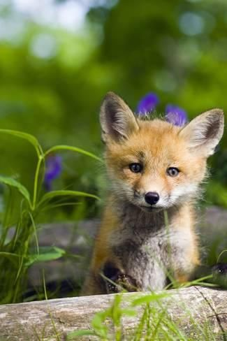 Photographic Print: Red Fox Kit in Spring Wildflowers Minnesota Captive by Design Pics Inc : 24x16in